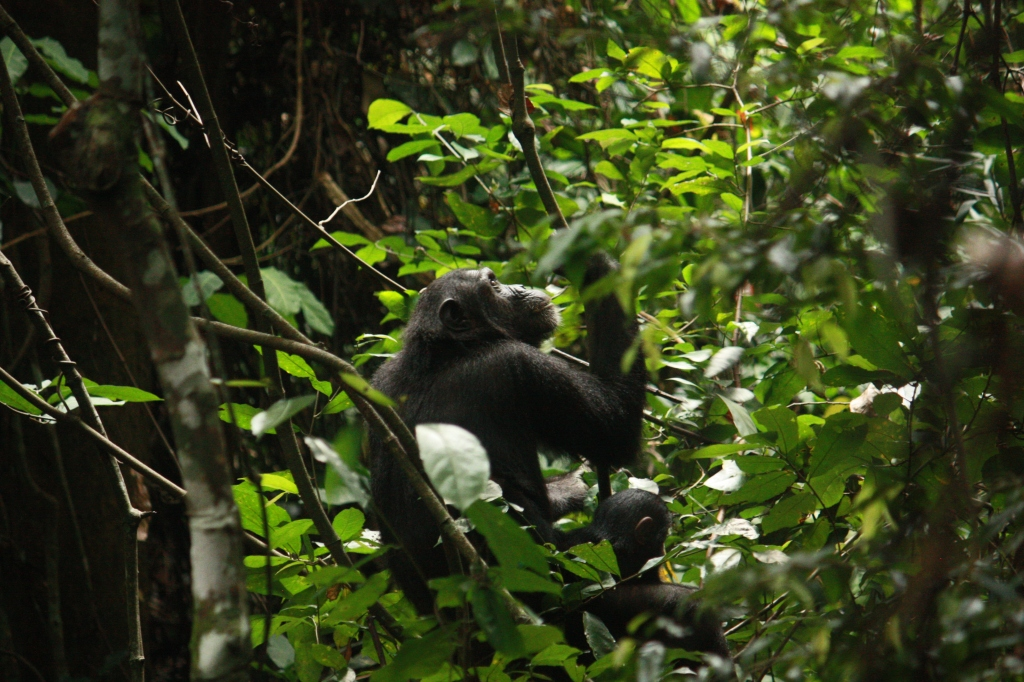 Chimps    (53)