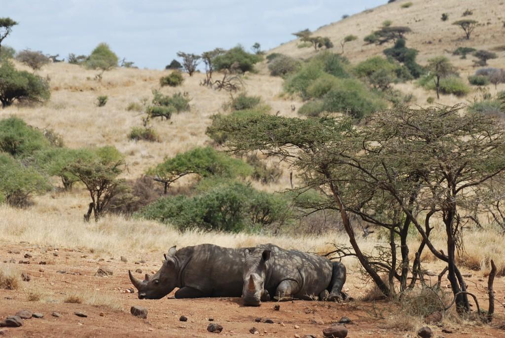 Snoozing White Rhino - Lewa