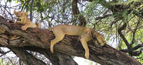 Rock climbing lion