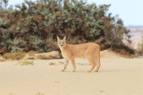 Desert adapted cat